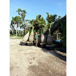 Bottle Palm 10' Overall Height