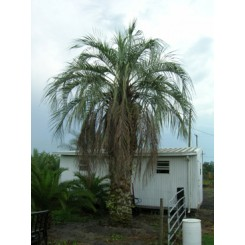 Pindo Palm 16' Clear Trunk