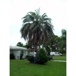 Pindo Palm 18' Clear Trunk