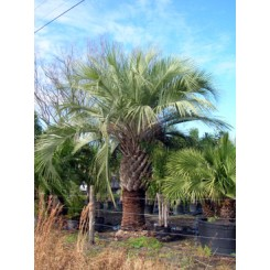 Pindo Palm 9' Clear Trunk