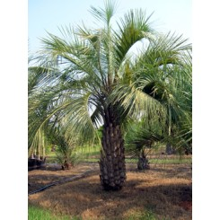 Pindo Palm 6' Clear Trunk