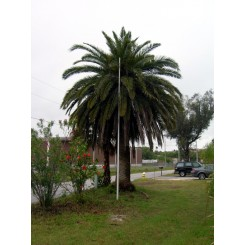 Canary Island Date Palm 16' CT