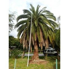 Canary Island Date Palm 18' CT