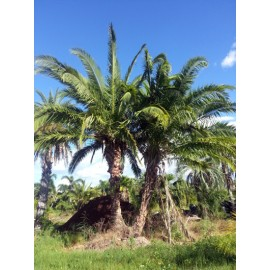 Hybrid Date Palm Double