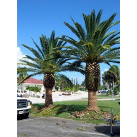 Canary Island Date Palm 12' CT Florida Fancy