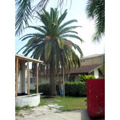 Canary Island Date Palm 22' CT
