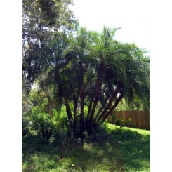 Reclinata Palm 28' Overall Height
