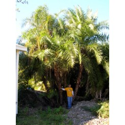 Reclinata Palm 30' Overall Height