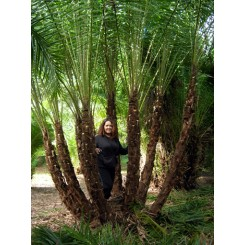 Reclinata Palm 18' Overall Height