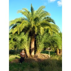 Reclinata Palm 26' Overall Height