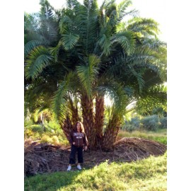 Reclinata Palm 24' Overall Height