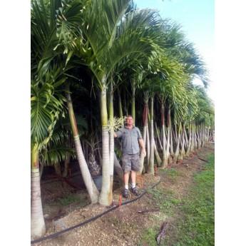 Christmas Palms Wholesale Christmas Palm Trees