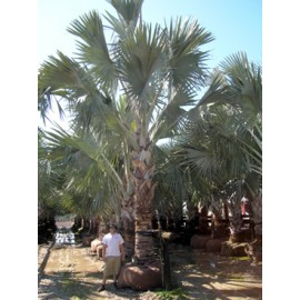 Bismarck Palm 10' of Clear Trunk