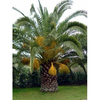 Canary Island Date Palm 6' CT Florida Fancy
