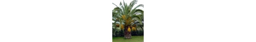 Canary Island Date 6' Trunk