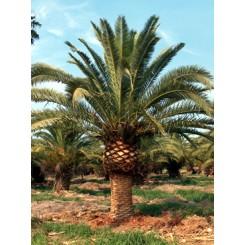 Canary Island Date Palm 8' CT
