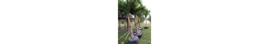 Christmas Palm
