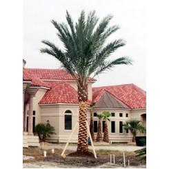 Medjool Palm 10' of Trunk