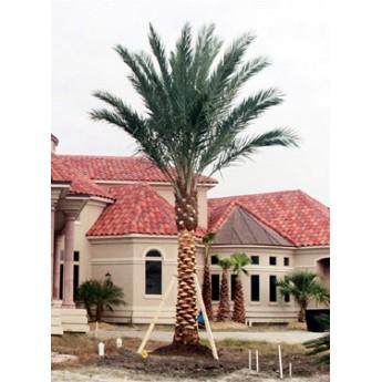 medjool date palm trees 12 trunk