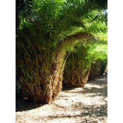 Reclinata Palm 16' Overall Height