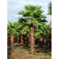 Washingtonia Palm 30' of Clear Trunk