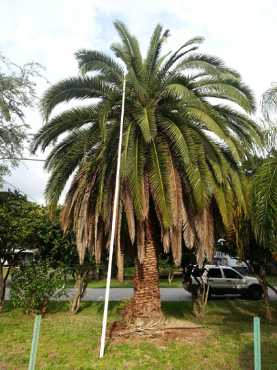 Canary Island Date Palm Tree - Wholesale Tropical Landscape Supply